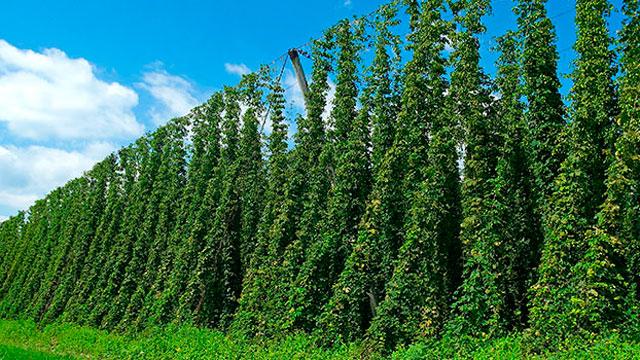 Что такое хмель, и как его используют в пивоварении